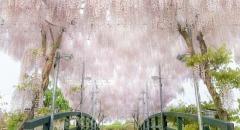 Ngắm thiên đường hoa tử đằng nở rộ tháng 5 ở Nhật Bản
