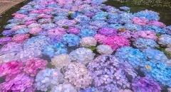 Checkin hồ hoa cẩm tú cầu ở Osaka, Nhật Bản