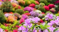Ngắm hoa đỗ quyên nở rực trời ở đền Shiofune Kannon-ji