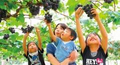 Du lịch Nhật Bản: Hái và thưởng thức hoa quả  ở Ibaraki, Nhật Bản
