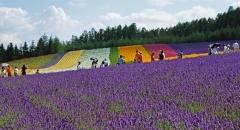 4 cánh đồng hoa oải hương nổi tiếng ở Hokkaido - Nhật Bản
