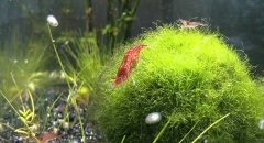 Tìm hiểu về bóng rêu báu vật thiên nhiên của người Nhật Bản