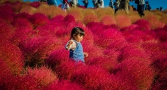 Ngắm đồi cỏ Kokia khoe sắc đỏ khi thu về