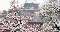 5 Điểm ngắm hoa mơ đẹp ở Tokyo