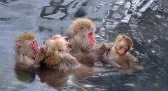 Thăm công viên khỉ Jigokudani, Nhật Bản
