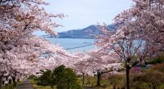 Lịch ngắm hoa anh đào 2019 trên khắp nước Nhật