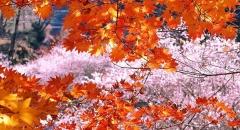 Ngắm hoa anh đào giữa trời thu Nhật Bản