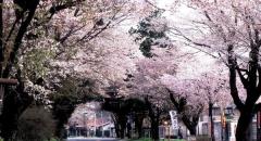 Lịch ngắm hoa anh đào nở ở Nhật Bản năm 2018